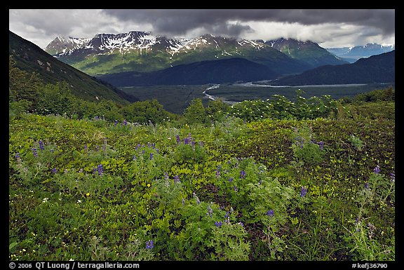 Dwarf Lupine and cloudy Resurection Mountains. Kenai Fjords National Park (color)
