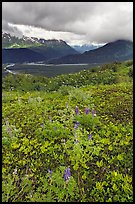 Dwarf Lupine in Marmot Meadows, and Resurection Mountains. Kenai Fjords National Park ( color)