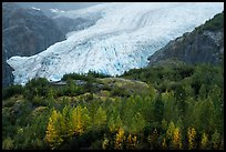 Trees in fall foliage and Exit Glacier. Kenai Fjords National Park ( color)