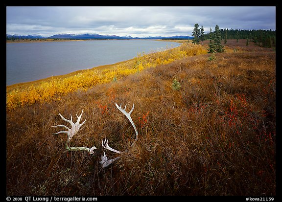Caribou antlers, tundra in autumn color, and Kobuk River. Kobuk Valley National Park (color)
