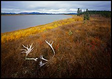 Caribou antlers, tundra in autumn color, and Kobuk River. Kobuk Valley National Park, Alaska, USA.