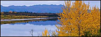 River scene with tree in fall foliage. Kobuk Valley National Park (Panoramic color)