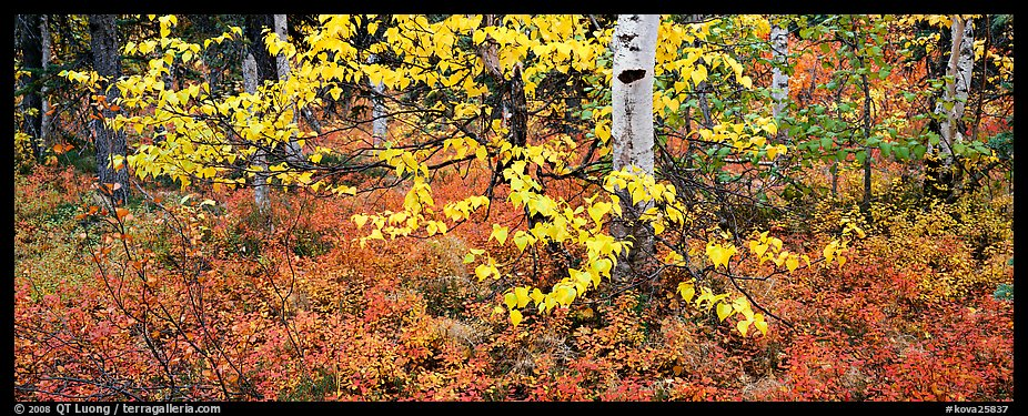 Forest floor and leaves in autumn color. Kobuk Valley National Park (color)