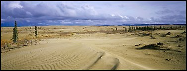 Sand dunes with spruce trees. Kobuk Valley National Park (Panoramic color)