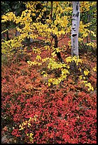 Berry plants and trees in fall colors at Onion Portage. Kobuk Valley National Park, Alaska, USA. (color)