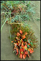 Dune plants. Kobuk Valley National Park ( color)