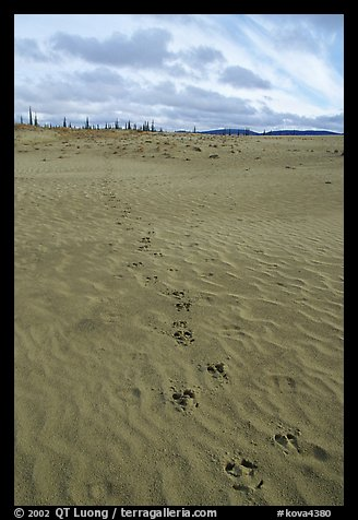 Animal tracks on the Great Sand Dunes. Kobuk Valley National Park, Alaska, USA.