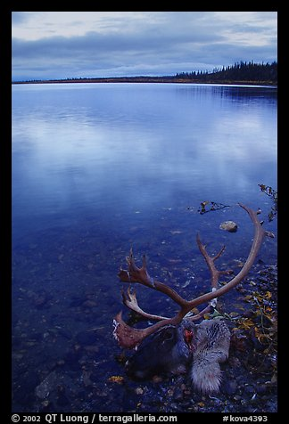 Dead caribou head on the river shore. Kobuk Valley National Park (color)