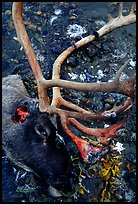 Caribou head discarded by hunters. Kobuk Valley National Park, Alaska, USA. (color)