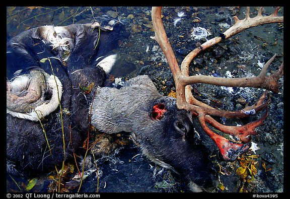 Dead caribou head discarded by hunters. Kobuk Valley National Park (color)