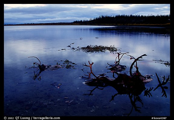 Caribou carcasses on Kobuk River shore. Kobuk Valley National Park (color)