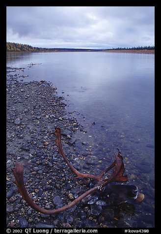 Dead caribou head on Kobuk River shore. Kobuk Valley National Park (color)
