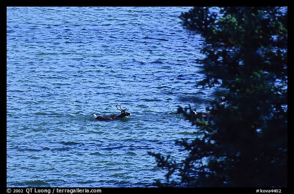 Spruce and lone caribou swimming across the river. Kobuk Valley National Park (color)