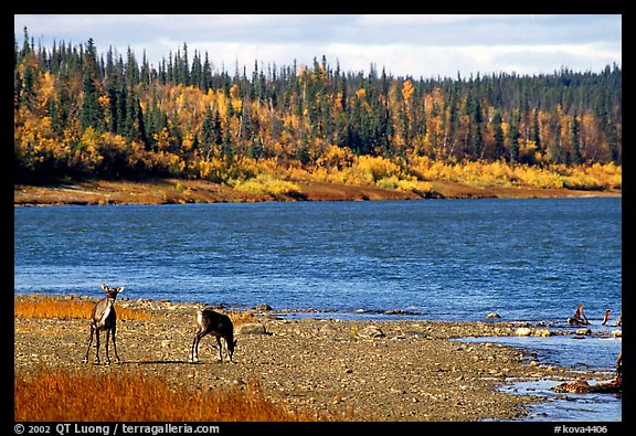 Young caribou on the shores of the river. Kobuk Valley National Park (color)