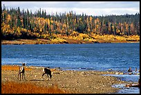 Young caribou on the shores of the river. Kobuk Valley National Park, Alaska, USA. (color)