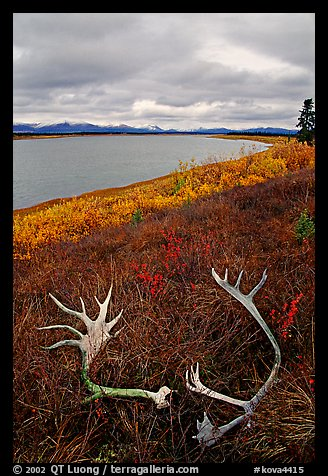 Caribou antlers, tundra, and river. Kobuk Valley National Park (color)