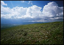 Tundra, wildflowers, and puffy white storm clouds. Lake Clark National Park, Alaska, USA.
