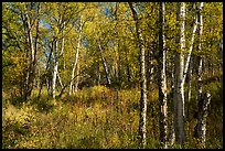 Northern forest in autumn. Lake Clark National Park ( color)