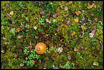 Ground close-up with mushrooms and moss. Lake Clark National Park ( color)