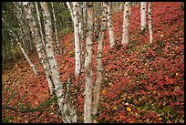 Birch trees and red undergrowth in autumn. Lake Clark National Park ( color)