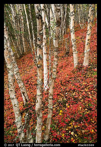 White birch and scarlet forest floor. Lake Clark National Park (color)
