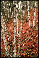 White birch and scarlet forest floor. Lake Clark National Park ( color)