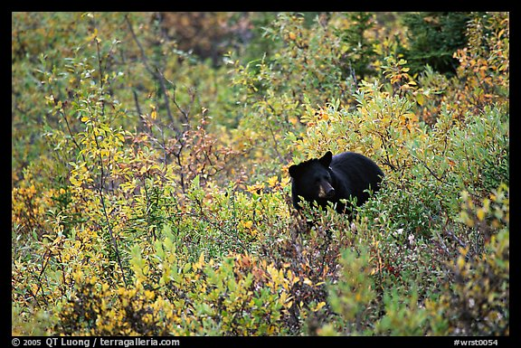 Black bear amongst brush in autumn color. Wrangell-St Elias National Park (color)
