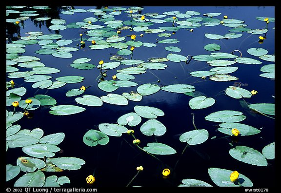 Water lilies blooming in pond near Chokosna. Wrangell-St Elias National Park (color)