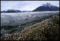 Wildflowers, Mt Donoho above Root glacier. Wrangell-St Elias National Park, Alaska, USA.