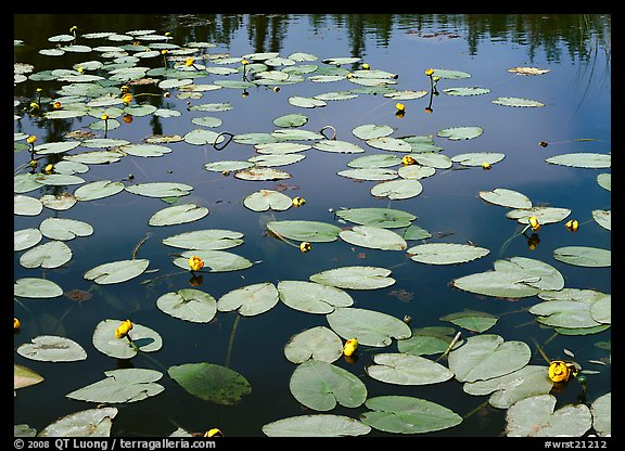 Water lillies with yellow flowers. Wrangell-St Elias National Park (color)
