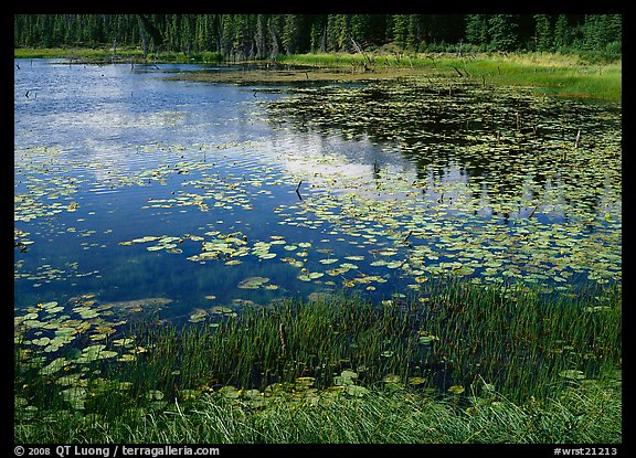 Pond with grasses, water lillies in bloom, and reflections. Wrangell-St Elias National Park (color)
