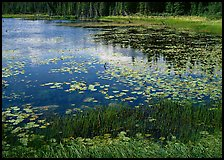 Pond with grasses, water lillies in bloom, and reflections. Wrangell-St Elias National Park, Alaska, USA. (color)