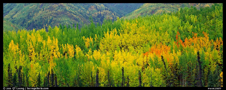 Mosaic of aspens in various color shades. Wrangell-St Elias National Park (color)