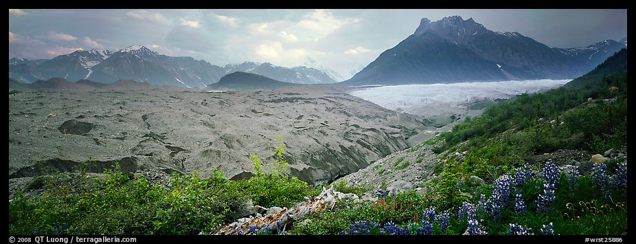 Lupines, moraine, and glacier. Wrangell-St Elias National Park (color)