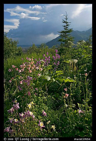 Variety of wildflowers near Kennicott. Wrangell-St Elias National Park (color)