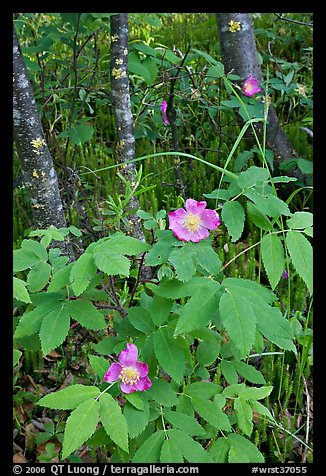 Wild Rose and tree trunks. Wrangell-St Elias National Park (color)