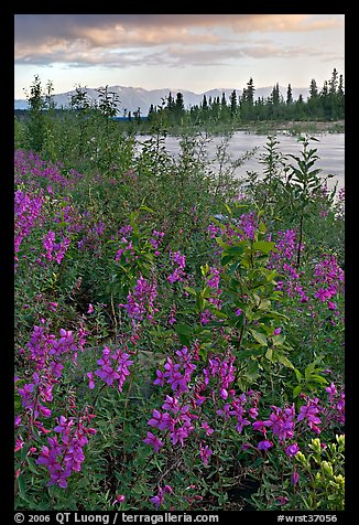 Fireweed near an arm of the Kennicott River, sunset. Wrangell-St Elias National Park (color)