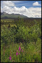 Fireweed, tundra, and Mentasta Mountains. Wrangell-St Elias National Park, Alaska, USA.