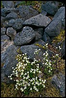 Alpine flowers and volcanic boulders. Wrangell-St Elias National Park, Alaska, USA. (color)