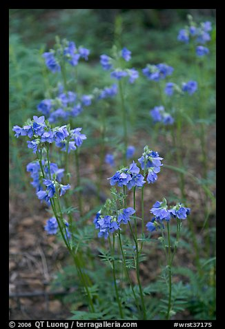 Blue wildflowers. Wrangell-St Elias National Park (color)