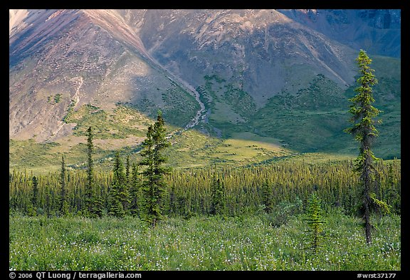 Meadow covered with white wildflowers, and spruce trees. Wrangell-St Elias National Park (color)