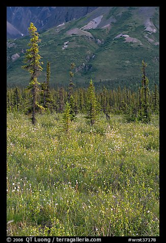 Wildflowers and spruce trees. Wrangell-St Elias National Park (color)
