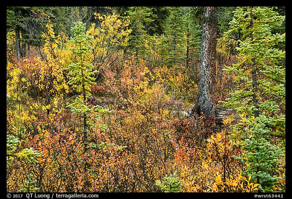 Autumn color in woods, Kendesnii. Wrangell-St Elias National Park (color)