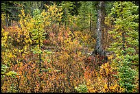 Autumn color in woods, Kendesnii. Wrangell-St Elias National Park, Alaska, USA.