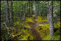 White Spruce forest, Skookum Volcano Trail. Wrangell-St Elias National Park ( color)