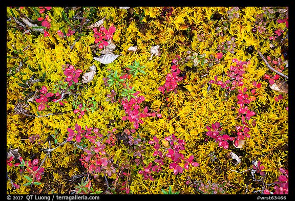 Close up of tundra in autumn. Wrangell-St Elias National Park (color)
