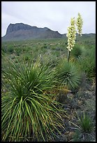 Yucas in bloom. Big Bend National Park, Texas, USA. (color)