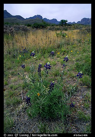 Desert flowers and Chisos Mountains. Big Bend National Park (color)