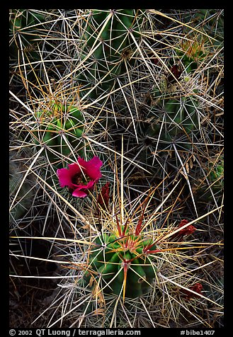 Engelmann Hedgehog cactus in bloom. Big Bend National Park (color)