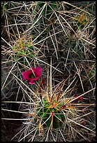 Engelmann Hedgehog cactus in bloom. Big Bend National Park ( color)